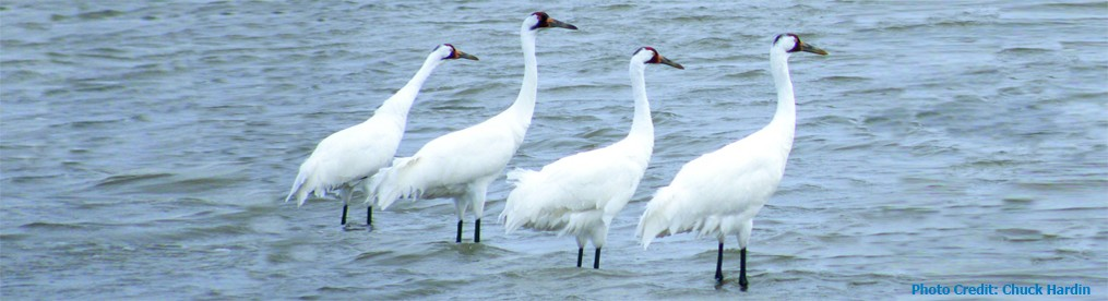 Four whoopers made early surprise arrival on Aransas NWR.