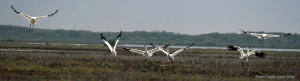 Whooping cranes need fresh water to create healthy habitat on Aransas NWR.