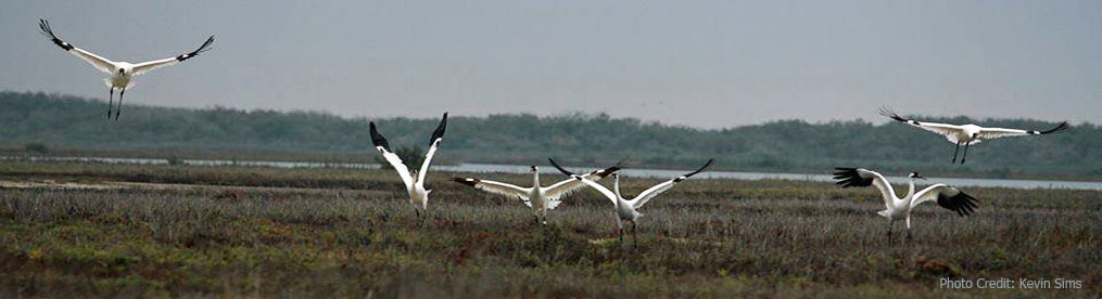 Territorial Dispute Whooping Cranes at Aransas National Wildlife Refuge