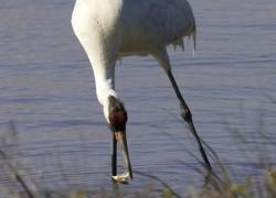 Whooping Crane Photo - Aransas National Wildlife Refuge.