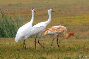 Whooping crane case gains support
