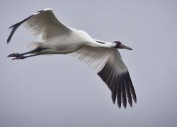 Whooping Cranes at Aransas National Wildlife Refuge.