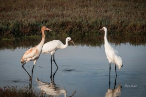 Whooping cranes on Texas coast where sea level rise may alter habitat conditions.