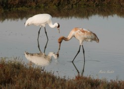 Whooping Cranes at Aransas National Wildlife Refuge.