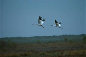 Whooping cranes migrating north for nesting.