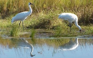 Two whooping cranes feeding in wetland.