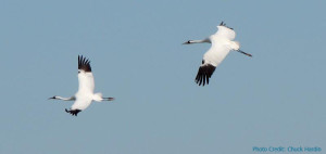 mirgratory behavior of whooping cranes