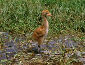 Whooping Crane Chick - whooping crane habitat