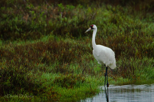 Four Louisiana whooping cranes off to Texas for 2nd year.