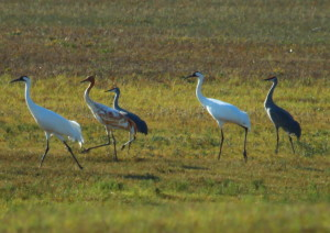 Whoopers 2-ad-1-juv-and-3-sandhills. photo by-Peggy-Diaz
