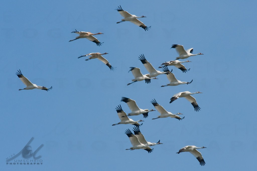 Sixteen Whooping Cranes photo byMike-Umscheid