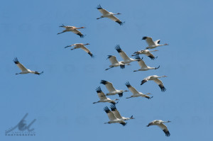 Sixteen Whooping Cranes photo by Mike-Umscheid