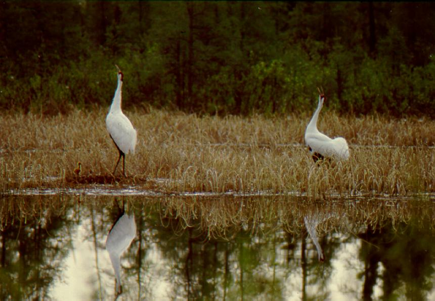Whooping-cranes-making-unison-call-at-nest-site.-photo-by-Brian-Johns.jpg