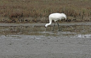 Whooping Crane looking for blue crabs.