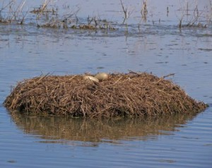 Whooping crane eggs on nest causes high hopes for LDWF.