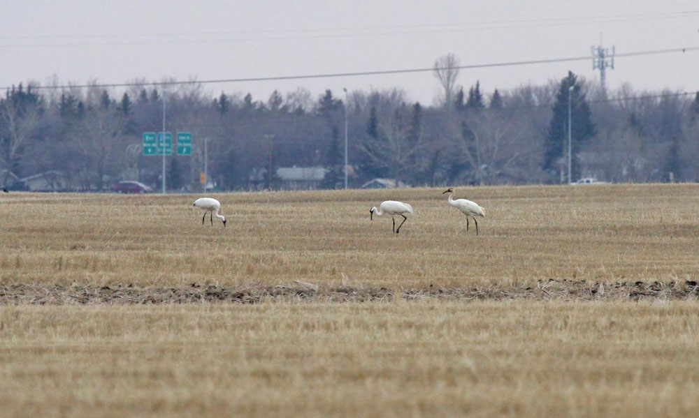 Whooping Cranes migrating back to Canadian Nesting Grounds. Regina, SK
