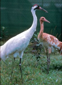 Whooper adult and juvenile amazed
