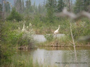 Whooping crane in Wood Buffalo nesting habitat. photo by Ronnie Schaefe