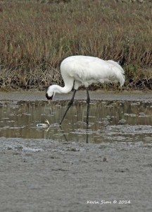 Whooping crane hunting for blue crab. Whooping cranes' fate in Texas' hand.