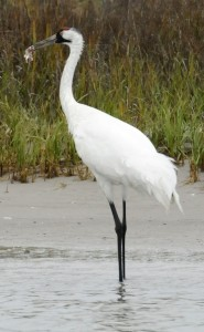 Texas was absolved in recent whooping crane deaths, but in the future, it will be forced to balance the needs of humans and the environment. Photo by Pat Sullivan, Associated Press