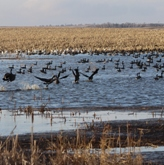 Waterfowl in Prairie Pothole Region. Wildlife Management Institute photo.