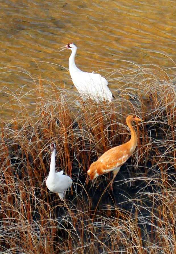 Figure 5. Two adults and one juvenile whooping crane spotted during aerial survey on Wood Buffalo National Park, Canada. Photo: John McKinnon / ©Parks Canada /Wood Buffalo National Park.