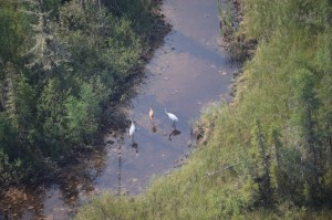 Photo: courtesy of Parks Canada Tourists hoping to catch this kind of aerial view of whooping cranes will have to wait until at least August following the cancellation of the new program's earliest excursions. That is, unless the program is quashed by a legal injunction, to be filed by Salt River First Nation.