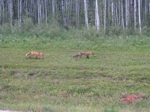 Figure 4. Red  foxes on Wood Buffalo may raid nest or catch chicks.  Photo by Ronnie Schaefer