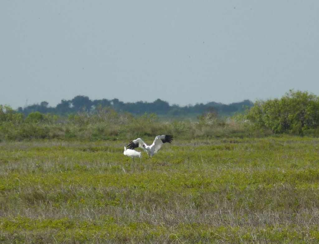 Two of four whooping cranes that made early migration to Aransas Refuge. Arrivaled  9/15/14 Photo by Laura Bonneau/USFWS