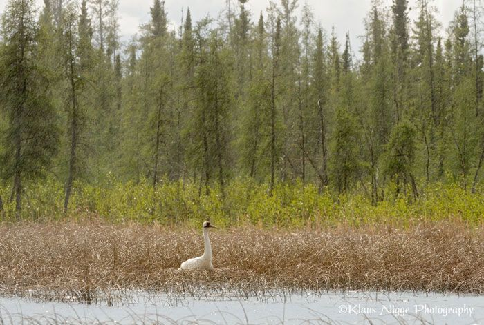 Wild Whooping Cranes