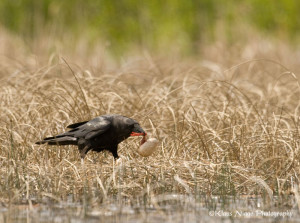 Figure 2.  Raven taking egg from whooping crane nest on Wood Buffalo.  Photo by Klaus Nigge