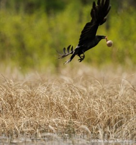 Figure 3. Raven flying away holding leg of whooping in egg. Photo by Klaus Nigge