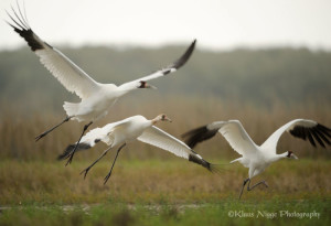 Whooping cranes make surprising early arrival on Aransas Refuge.