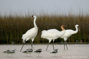 Whooping crane family at Aransas National Wildlife Refuge