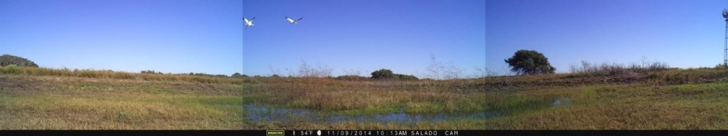 Whooping cranes departing from a recently rehabilitated well site.