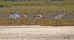 Whooping Cranes at ANWR