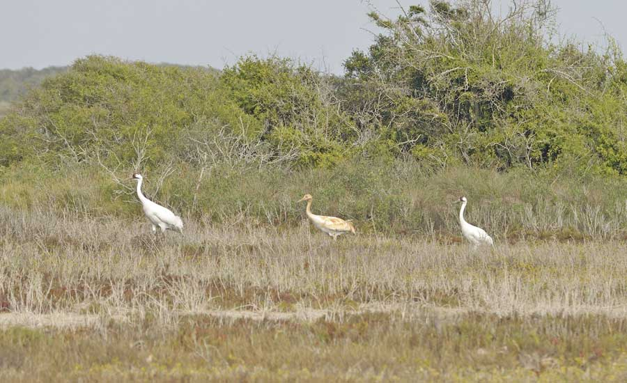 Whooping crane family at Aransas National WIldlife Refuge. Photo courtesy of Kevin Sims.