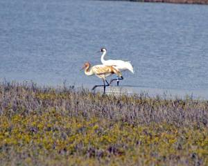 Whooping crane at Aransas National WIldlife Refuge. Photo courtesy of Kevin Sims.
