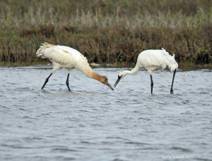 Whooping Crane Winter Survey