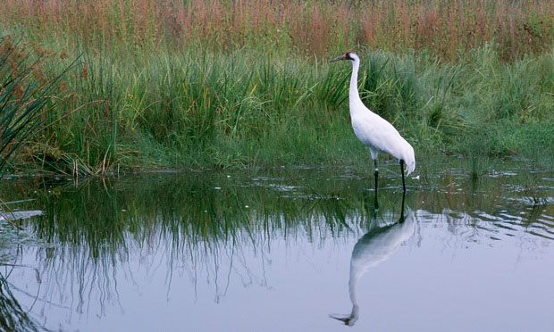 Whooping Cranes Battle Pits County Against State