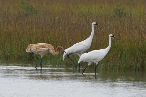 Whooping Crane in Texas marsh. USDA Photo by John Noll.