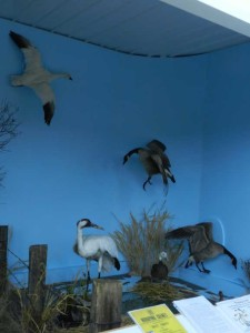 "Luseland Museum Whooping Crane "" Nature Preserve "" Exhibit"