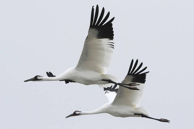 Two whooping cranes take flight in Aransas National Wildlife Refuge. The endangered birds migrate south to Texas every fall.