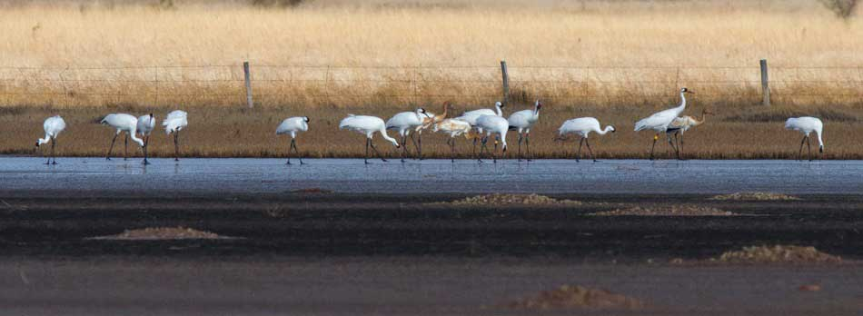 Whooping Cranes on Qvivira NWR
