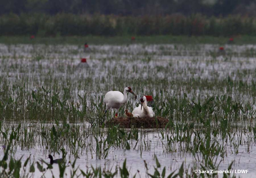 Whooping Crane Photo: Sara Zimorski/ Louisiana Department of Wildlife and Fisheries