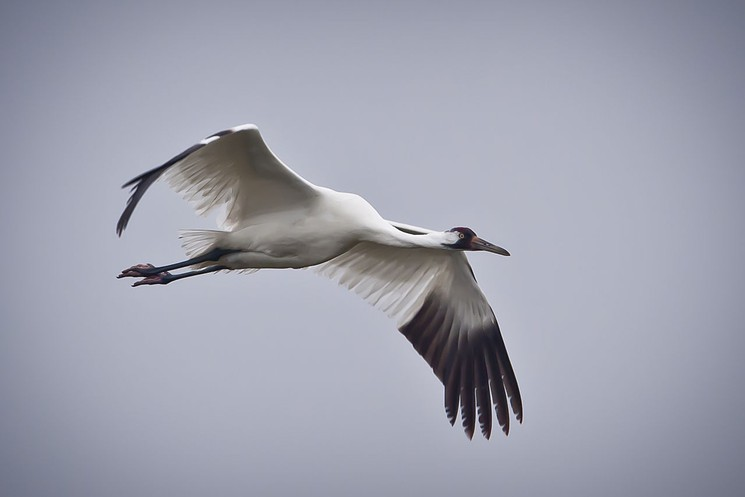 Whooping cranes are on the U.S. Endangered Species List and that means, well, less than you'd think. Photo from the U.S. Department of Agriculture