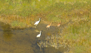 Are whooping cranes destined for extinction?