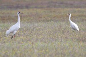 endangered whooping cranes