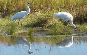 ing crane in wetland.