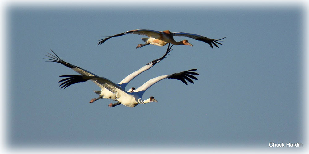 Wildlife agencies seeking help with whooping crane sightings.